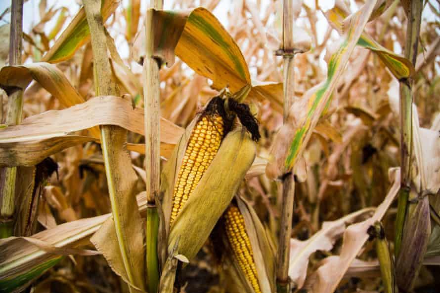 In 2016, nearly half of Iowa's 23 million acres of farmland was planted in field corn.