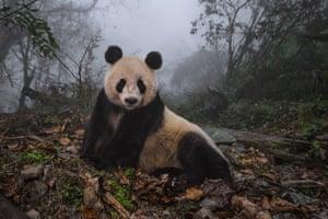 Panda, Wolong nature reserve, Sichuan province, China, 2015.