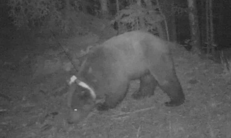 Goiat the bear in 2016, just after being brought over from Slovenia to the Val d'Aran