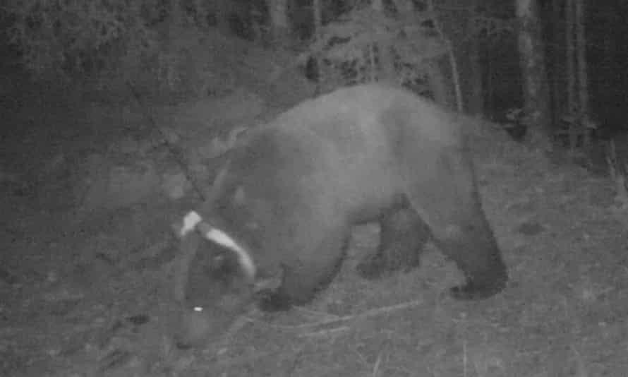 Goiat the bear