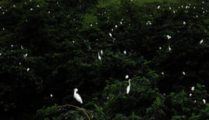 Aerial photo shows egrets resting on top of trees at the Dafeng Milu national nature reserve in Yancheng, Jiangsu province, eastern China