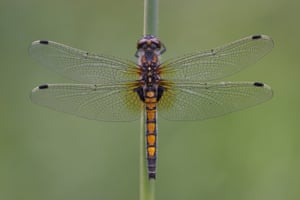 The large white-faced darter is one of eleven new dragonfly species to arrive in Britain since 1995. It made its first ever appearance in 2012.