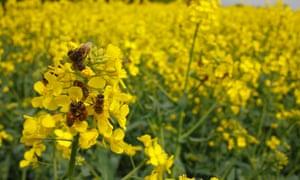 Honeybees on flowers of oilseed rape.