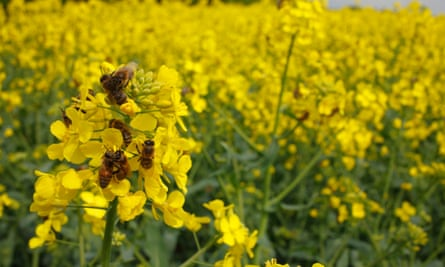 Honeybees on flowers of oilseed rape.