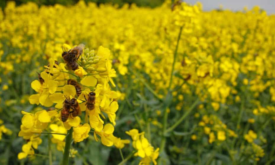 Western honeybee (<em>Apis mellifera</em>) workers on flowers of oilseed rape near Shropshire, England.