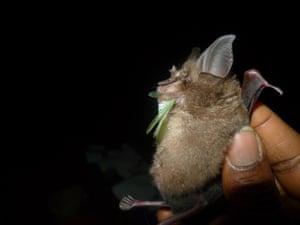 Short-tailed roundleaf bat