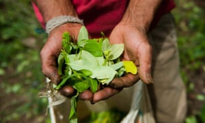 A farmer harvests coca leaves in a coca plantation in the mountains of the department of Cauca, Colombia.