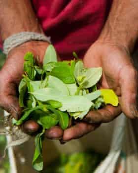 A Cauca farmer harvests coca leaves.