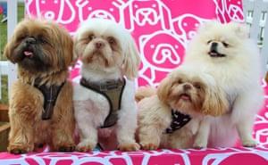 Shih tzu dogs at Dogfest at Knebworth House in Stevenage, UK