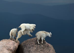 Mountain goat kids during a lightning storm atop Mount Evans, a 14,000ft peak in Colorado, US