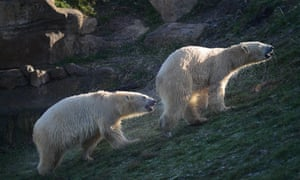 Nobby the polar bear arrives at Yorkshire Wildlife Park