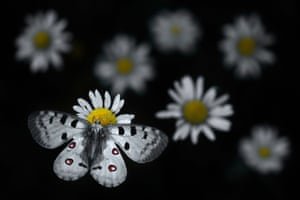 Highly commended, 11-14 YearsApollo landing by Emelin Dupieux, France  An Apollo butterfly settles on an oxeye daisy.
