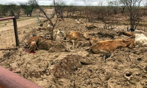 This picture taken by Anthony Anderson shows dead cattle in a flood-affected area near Julia Creek