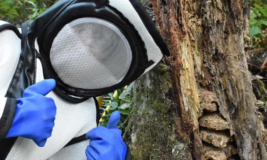 A Washington state Department of Agriculture worker wearing a protective suit poses during the eradication of an Asian giant hornet nest at the base of a dead alder tree near Blaine, Washington on 25 August 2021.