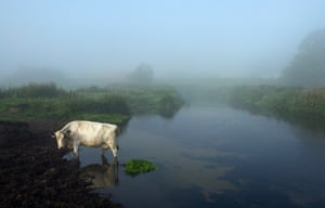 Cow in the river Waveney at dawn, on a misty morning in rural Suffolk, 31 August 2008.