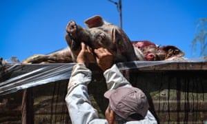 African swine fever reached Romania this year