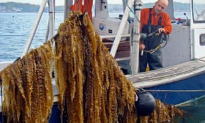 Bren Smith, executive director of GreenWave, harvests seaweed from his boat Mookie III off the Thimble Islands in Long Island Sound.