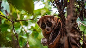 Thirteen rescued slow loris have been released in the Batutegi protected forest conservation area in Lampung, Sumatra, after undergoing medical care and rehabilitation at a specialist primate centre in Bogor, West Java.