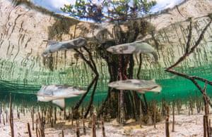 Lemon shark pups around the roots of a mangrove