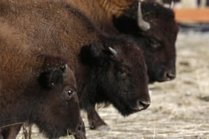 Bison await their release on the Wind River Indian Reservation in Wyoming, US