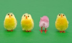 A line of yellow Easter chicks, a pink one faces a different way