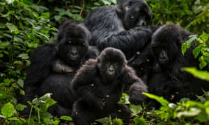 The Bageni family in the gorilla sector of Virunga National Park, on August 6, 2013 in Bukima, DR Congo.
