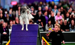 A dog competes in the Masters Agility Championship