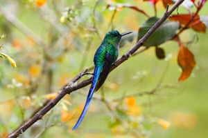 A long-tailed sylph hummingbird near Manizales, Colombia.