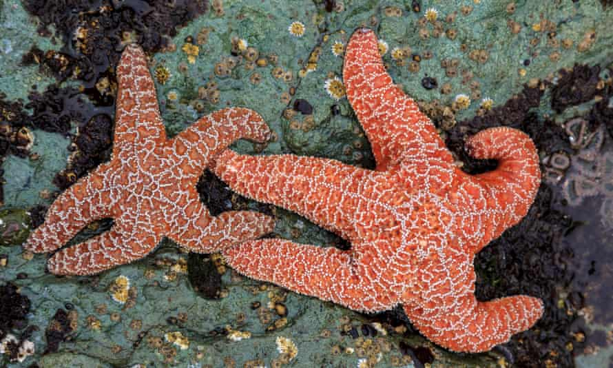 Ochre stars were decimated by the wasting disease.