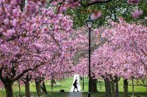 Harrogate, EnglandCherry blossoms in bloom