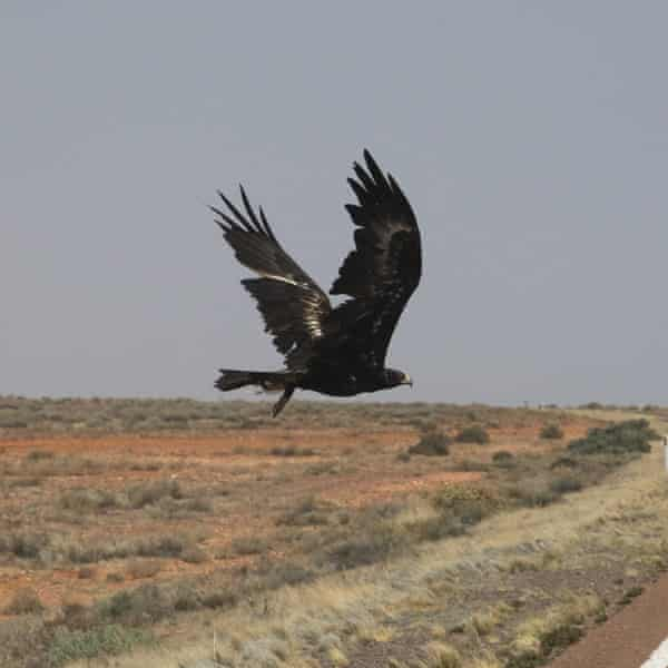 A wedge-tailed eagle on the Stewart Highway in South Australia.