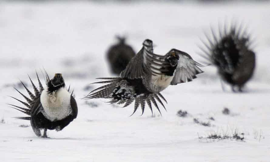 A pair of male greater sage-grouse fight on a lake in Colorado.