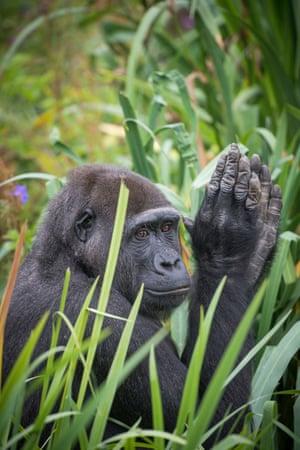 Western lowland gorilla named Touni at Bristol zoo gardens.