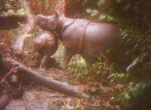 57% didn't realised the Javan rhinoceros was critically endangered. Javan rhinos are the most threatened of the five rhino species, with 60 individuals surviving in Ujung Kulon national park in Java, Indonesia. Vietnam's last Javan rhino was poached in 2010.