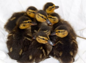 Hampshire, England: Eight ducklings