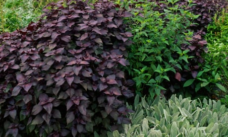 How to grow the herb shiso perilla