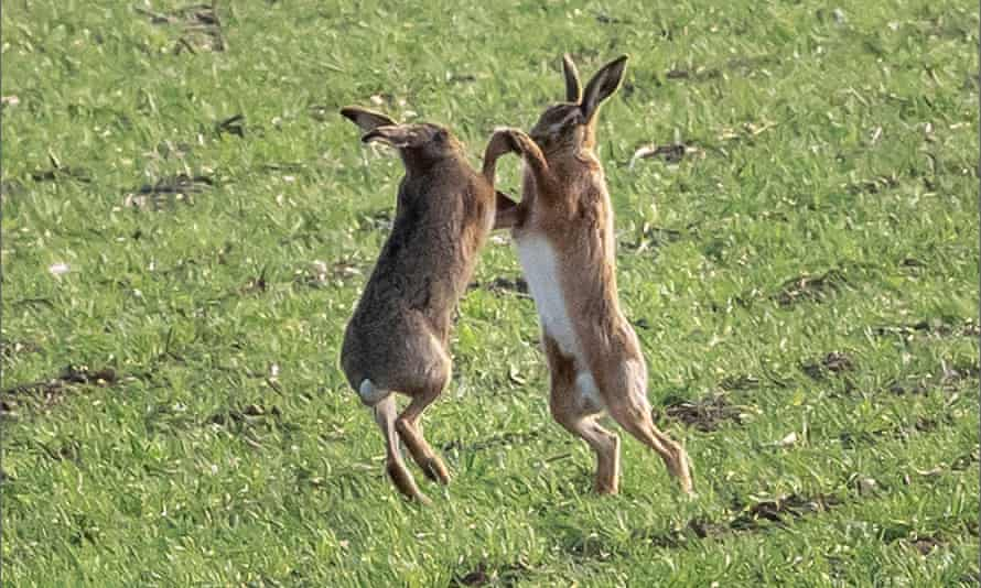 Two hares boxing in Hunsdon, East Hertfordshire on 24 February.
