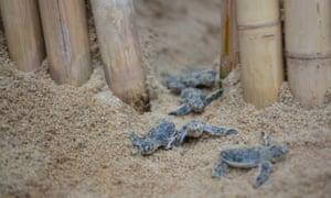 Koh Samui, Thailand: Baby turtles on the beach
