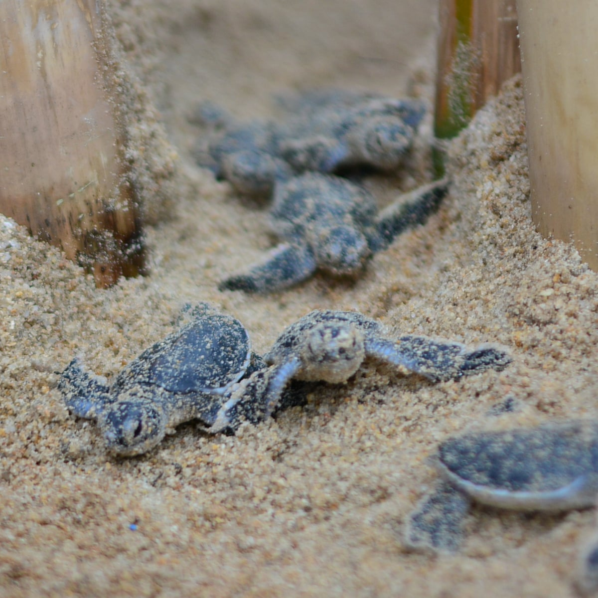 Thailand S Turtle Hatchlings Finally Have The Beach To Themselves Marine Life The Guardian