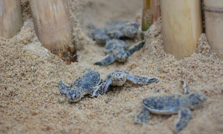 Baby turtles on the beach near the Banyan Tree resort on Koh Samui. Photograph: Courtesy of Banyan Tree Samui