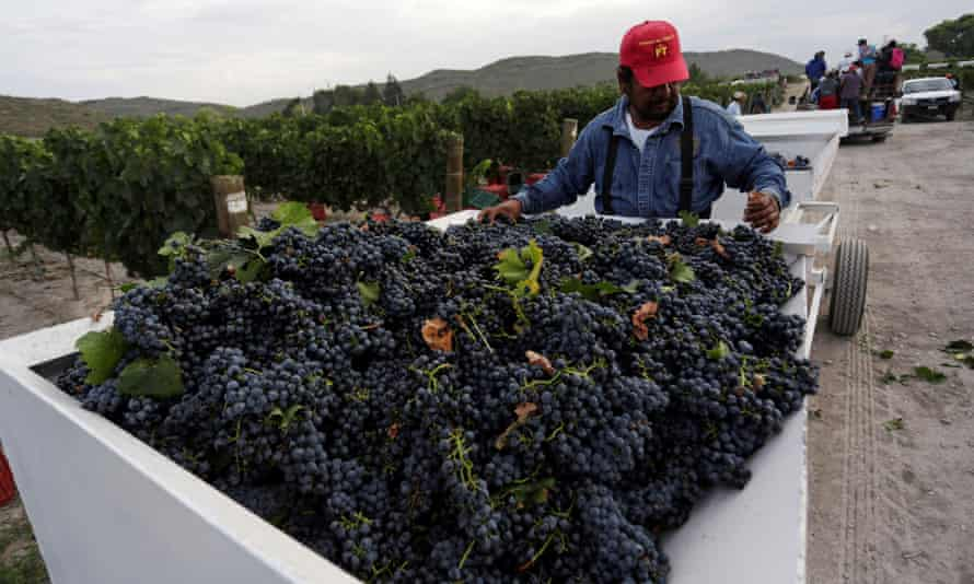 A worker collects grapes during a harvest at Casa Madero in Parras de la Fuente, in Coahuila state, Mexico.