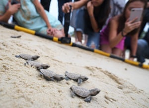 Sentosa Island, Singapore: Hawksbill sea turtles hatched less than 10 hours ago make their way to the sea