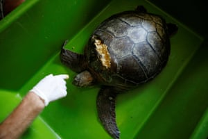 Workers prepare to inject beeswax into the shell of a sea turtle injured by a boat propeller