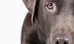 The chocolate Labrador retriever called Trigger, shot its owner.