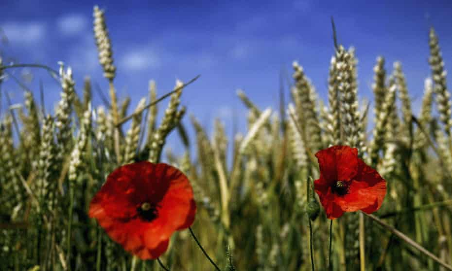 Poppies bloom in a wheat field near Rochester, England.