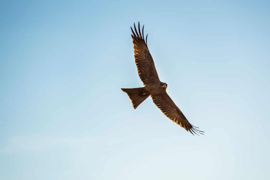 A brown kite rides the thermals searching for prey.
