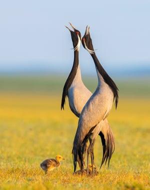 June marks the start of the breeding season for demoiselle cranes on the vast grasslands of Keshiketeng in Inner Mongolia