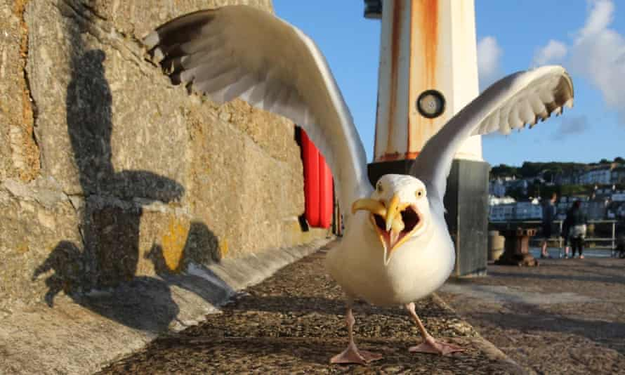 A seagull with a chip.