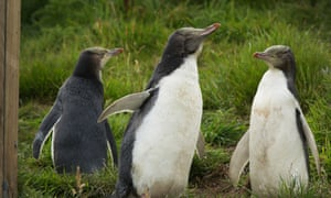 Hoiho (yellow-eyed penguins) are one of New Zealand's many cherished seabirds that face a threat from commercial fishing.