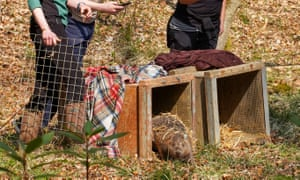 Male beaver being released from its crate at Cropton Forest. Photograph: Sam Oakes